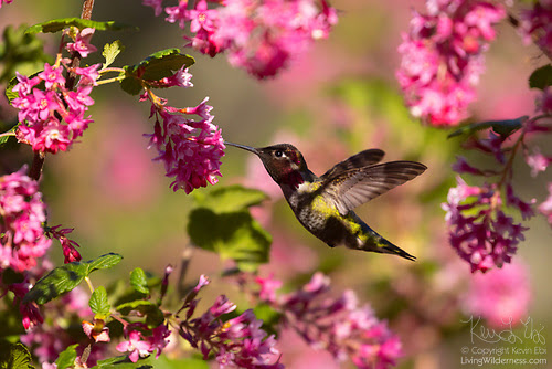 Hummingbird and Flowering Currant