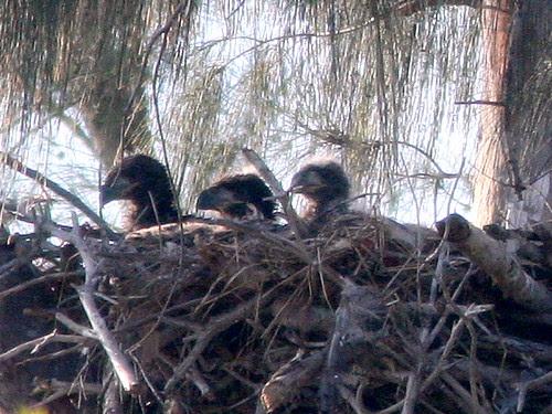 Three Eaglets 20100302