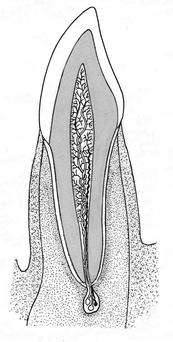 teeth structure incisor