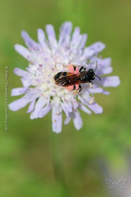 Andrena hattorfiana ♀