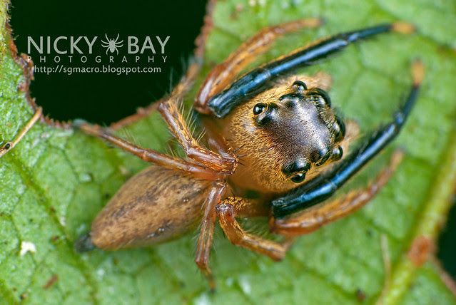 Jumping Spider (Salticidae) - DSC_8099