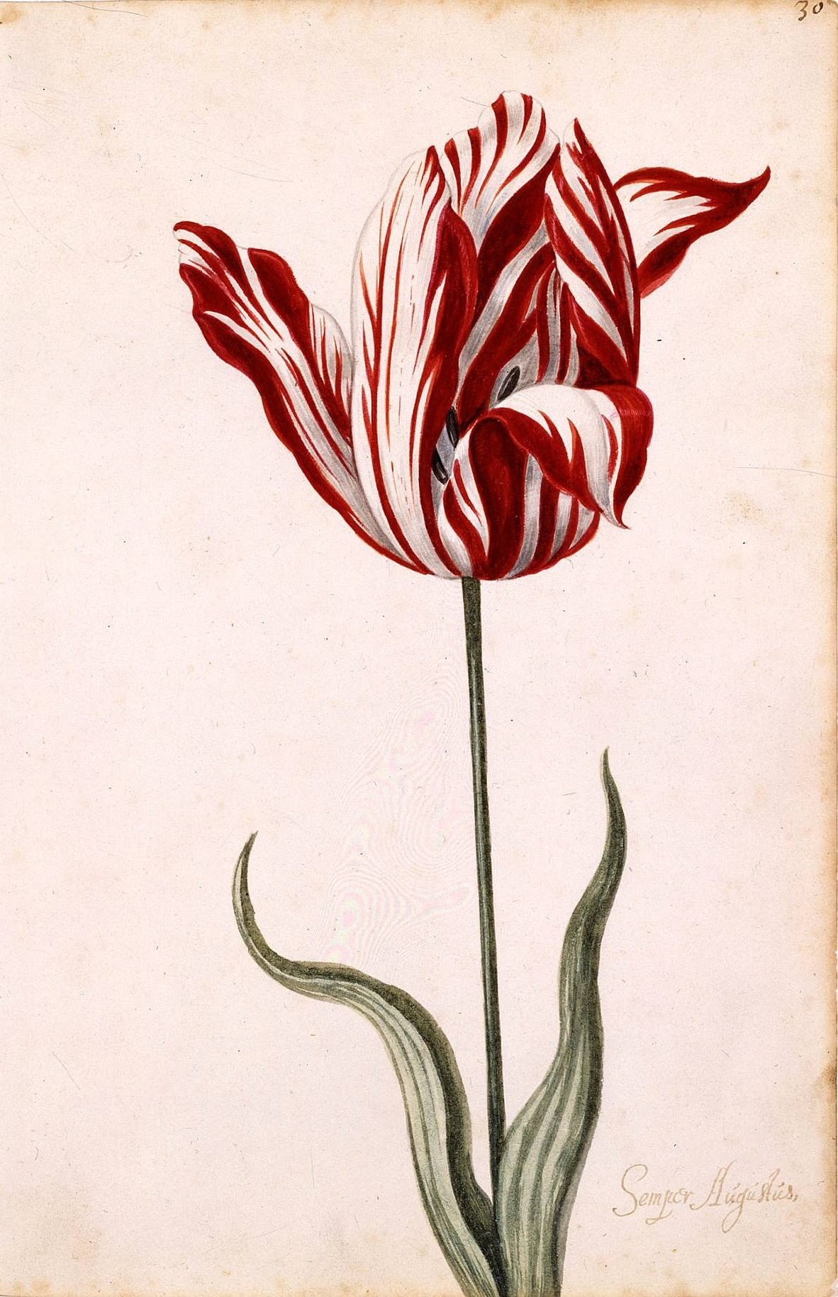 overpriced tulip