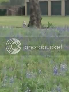 TexasBlueBonnets1