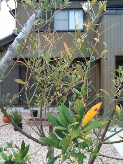 Please Help Olive Tree Leaves Are Turning Yellow And Dropping Off