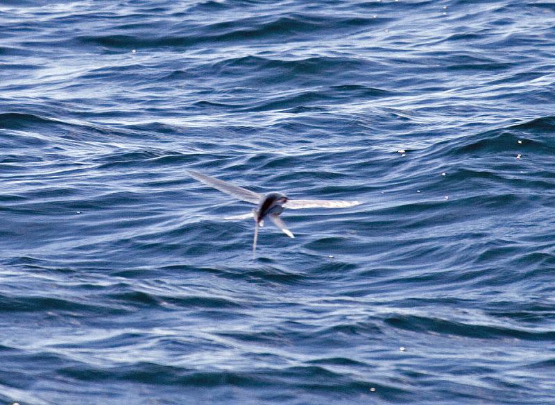 California Flying Fish.