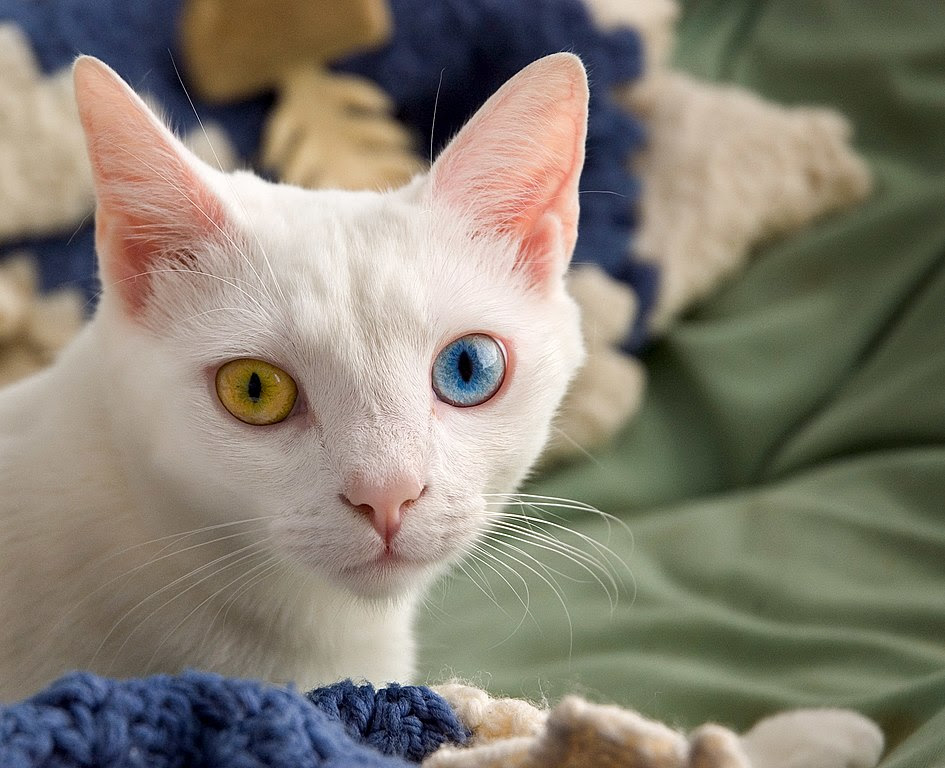 http://upload.wikimedia.org/wikipedia/commons/thumb/a/a3/June_odd-eyed-cat.jpg/945px-June_odd-eyed-cat.jpg