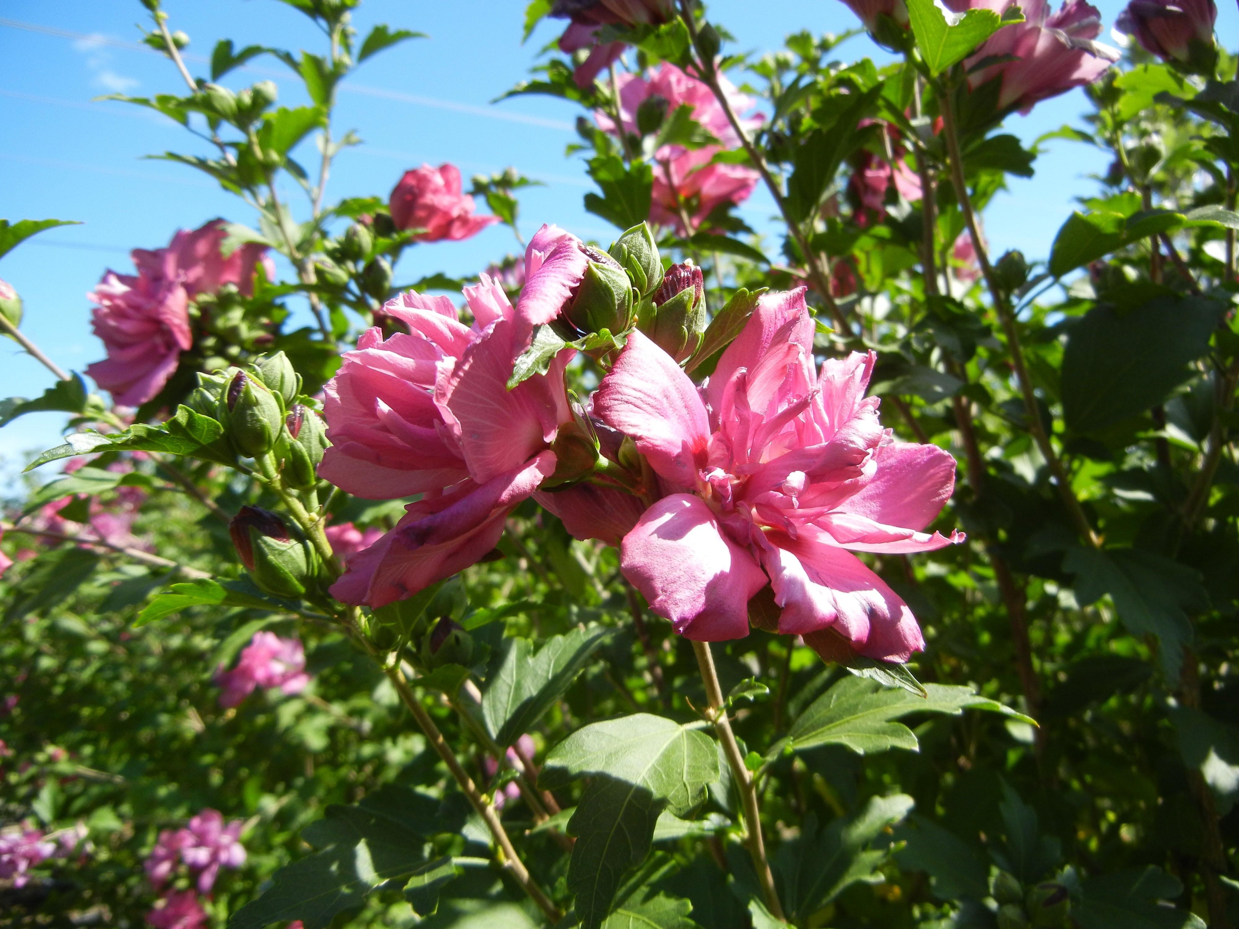 Rose Of Sharon Lucy Althea Thetreefarmcom