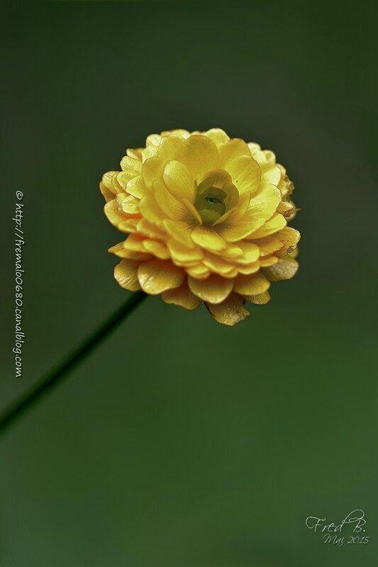 Ranunculus sp