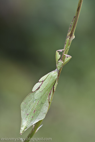 leaf insect IMG_6670 copy