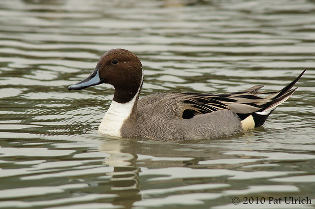 Northern pintail drake - Pat Ulrich Wildlife Photography