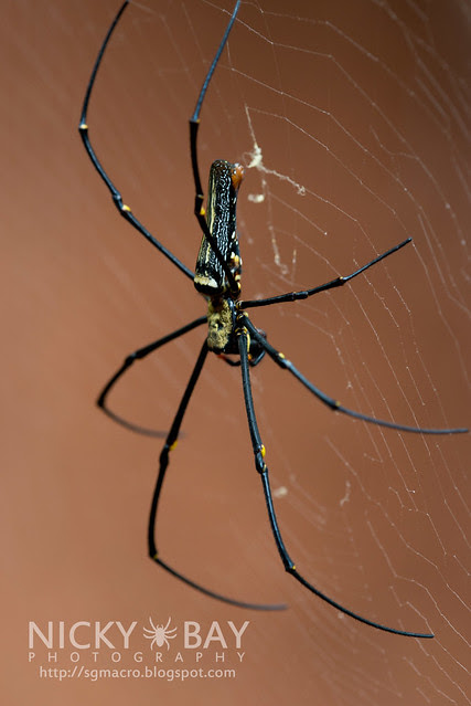 Golden Orb Weaver (Nephila sp.) - DSC_7149