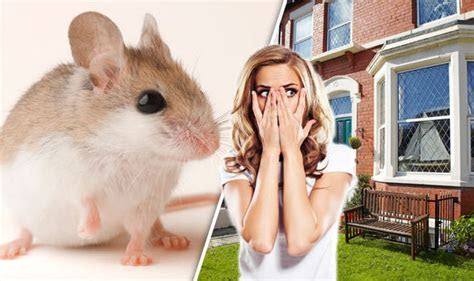 How to get rid of mice in the house without using traps or poisons   Property   Life & Style