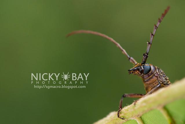 Longhorn Beetle (Cerambycidae) - DSC_9376