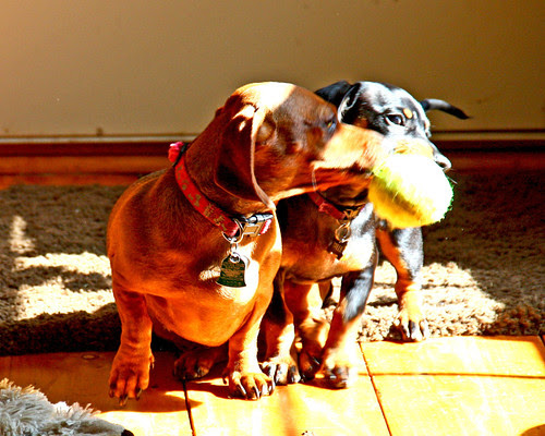 Peaches and Belle fighting over a ball.