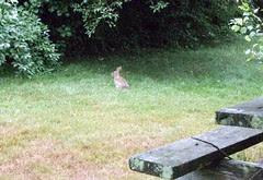 Bunny_71410b