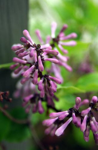 kimberley lilac
