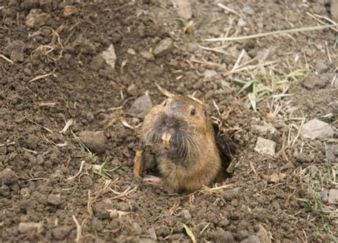 How to Get Rid of Burrowing Animals in Your Yard   Homesteading and Livestock   MOTHER EARTH NEWS