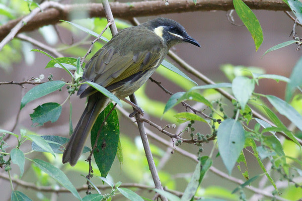 Lewin's Honeyeater (Meliphaga lewinii) - Birds, Nature & Flowers - North Maleny & Obi Obi Creek, Blackall Range, Sunshine Coast Hinterland, Queensland, Australia; Thursday 17 March 2011. Photos by Des Thureson.