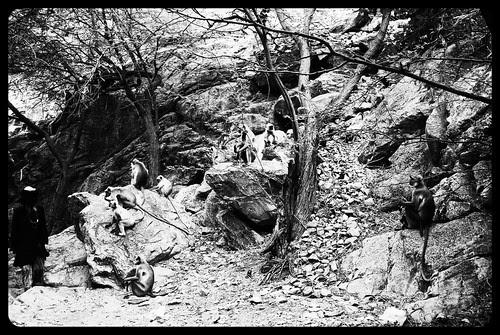 Taragadh Langurs by firoze shakir photographerno1