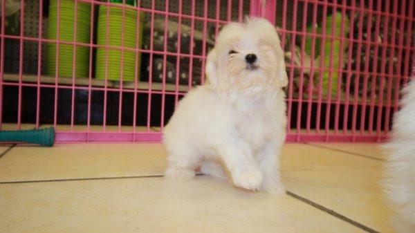 Cute Teacup Maltese Puppies For Sale, Georgia Local ...