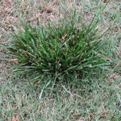 Fescue Control In Bermuda And St Augustine Lawns Green Top Lawn Care