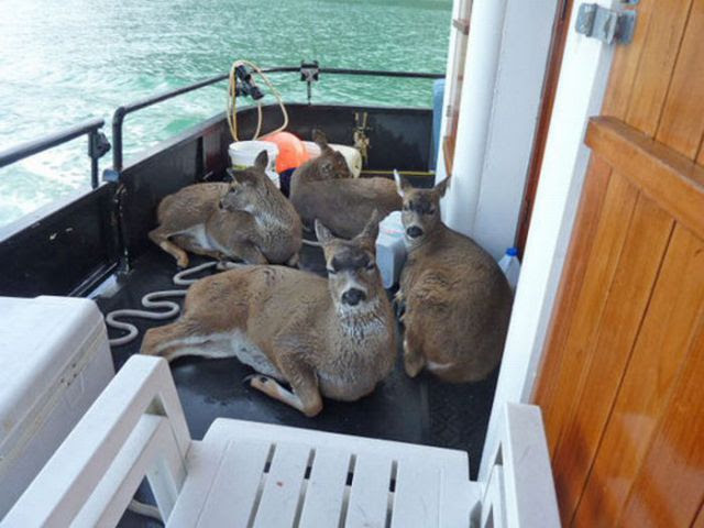 Adorable Deer Rescued from Icy Waters