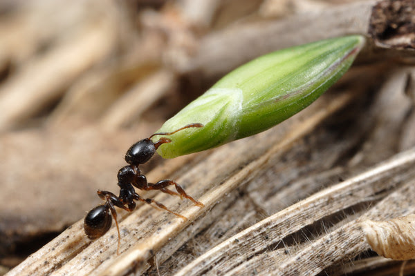 Ant&seed1
