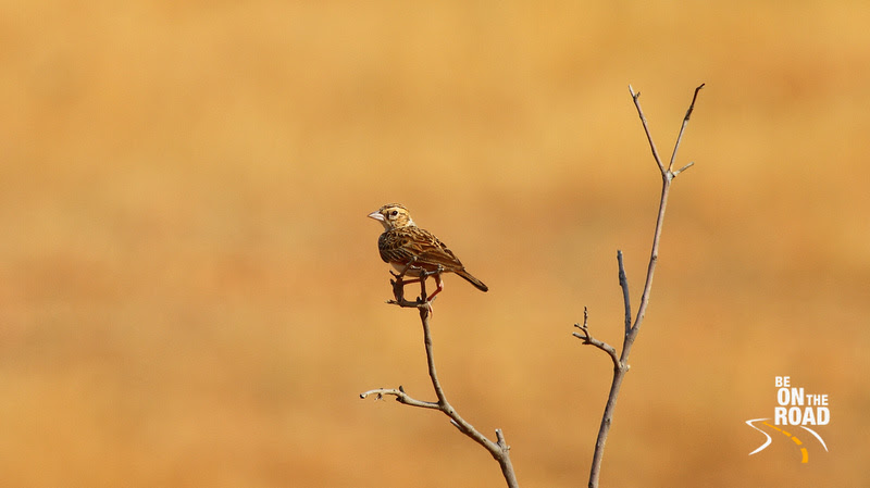 Indian Bushlark at Maidenahalli