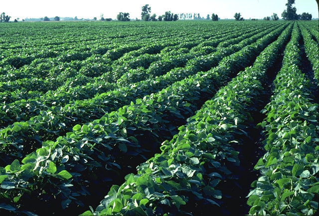 http://www.thetinylife.com/wp-content/uploads/2010/06/soybeans7.jpg