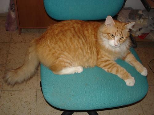 Simba on my chair