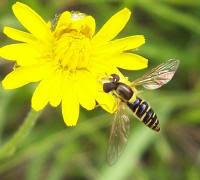 Photo haute résolution d'insecte : Syrphe