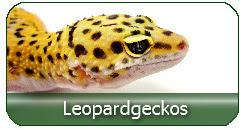 Leopardgeckos aus deutscher Zucht zu fairen Preisen