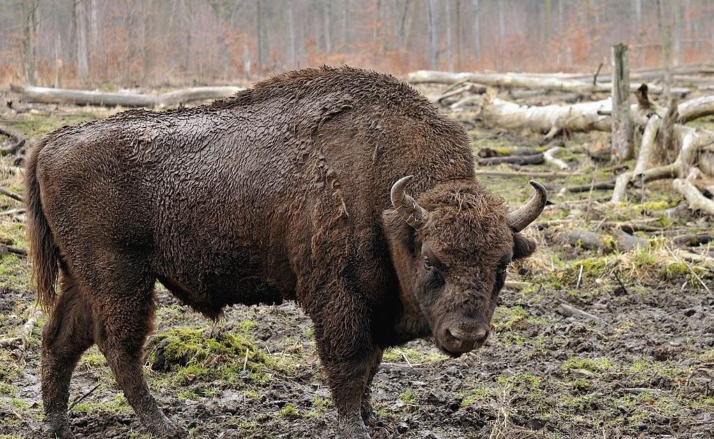 Q Es Bisonte Flora y Fauna de Europ...