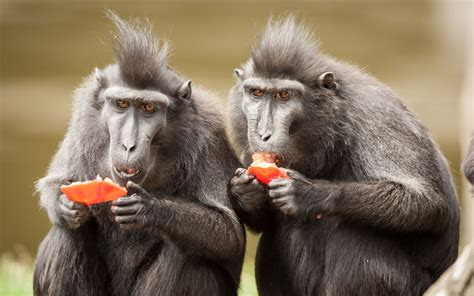 crested black macaque wallpapers backgrounds