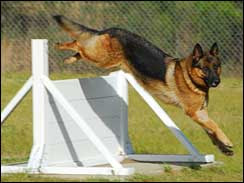 Retiring military dog Lex
