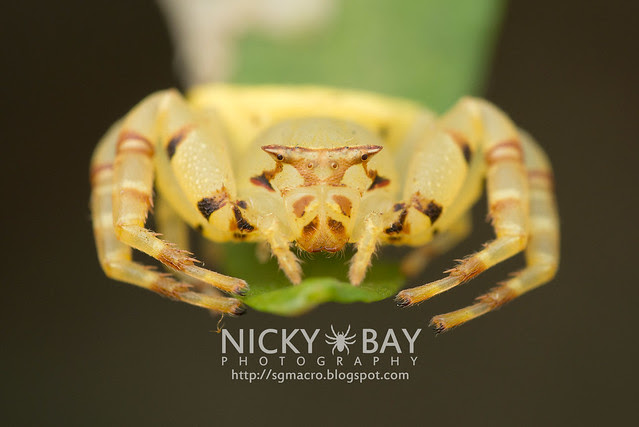 Crab Spider (Thomisidae) - DSC_5133