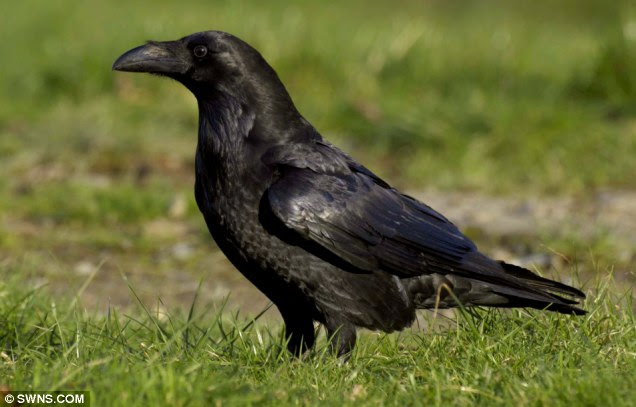 The return of the raven has been hailed as one of the great wildlife successes of the past 50 years
