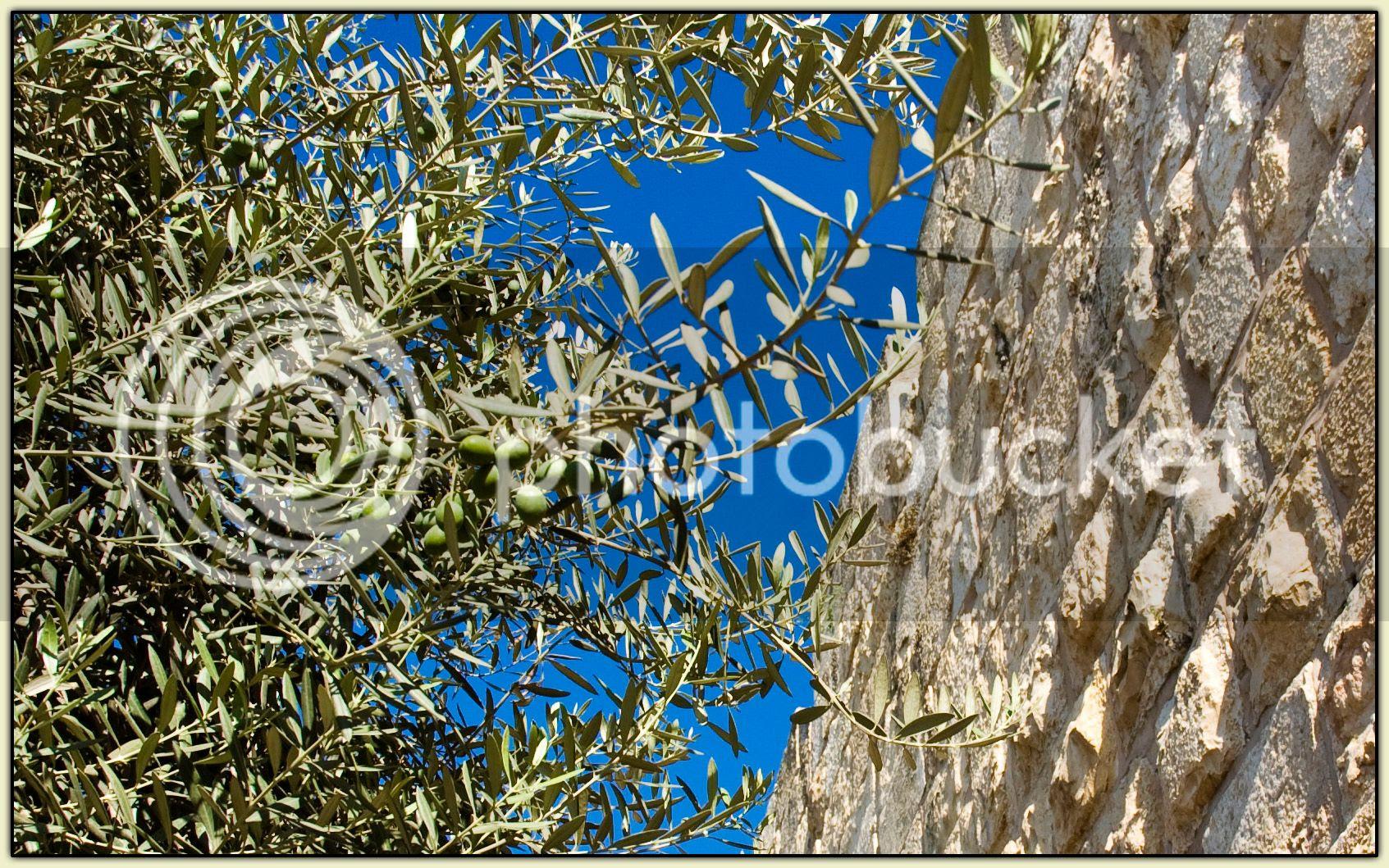 Olives on the Hoof