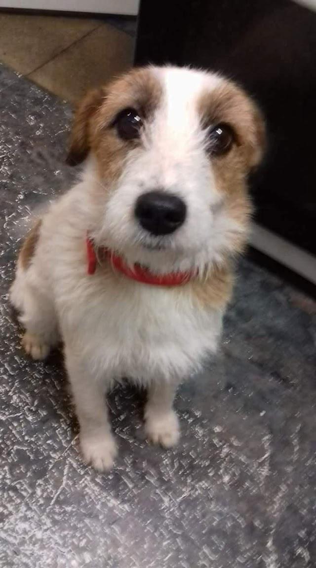 Gemma – 6 year old female Terrier Cross