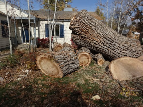 tree removal ~ huge timbers