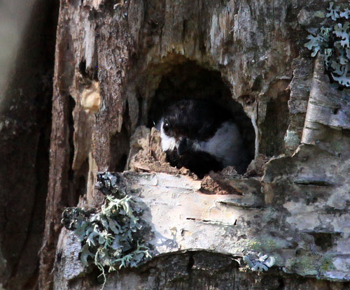 Black-capped Chickadee nest