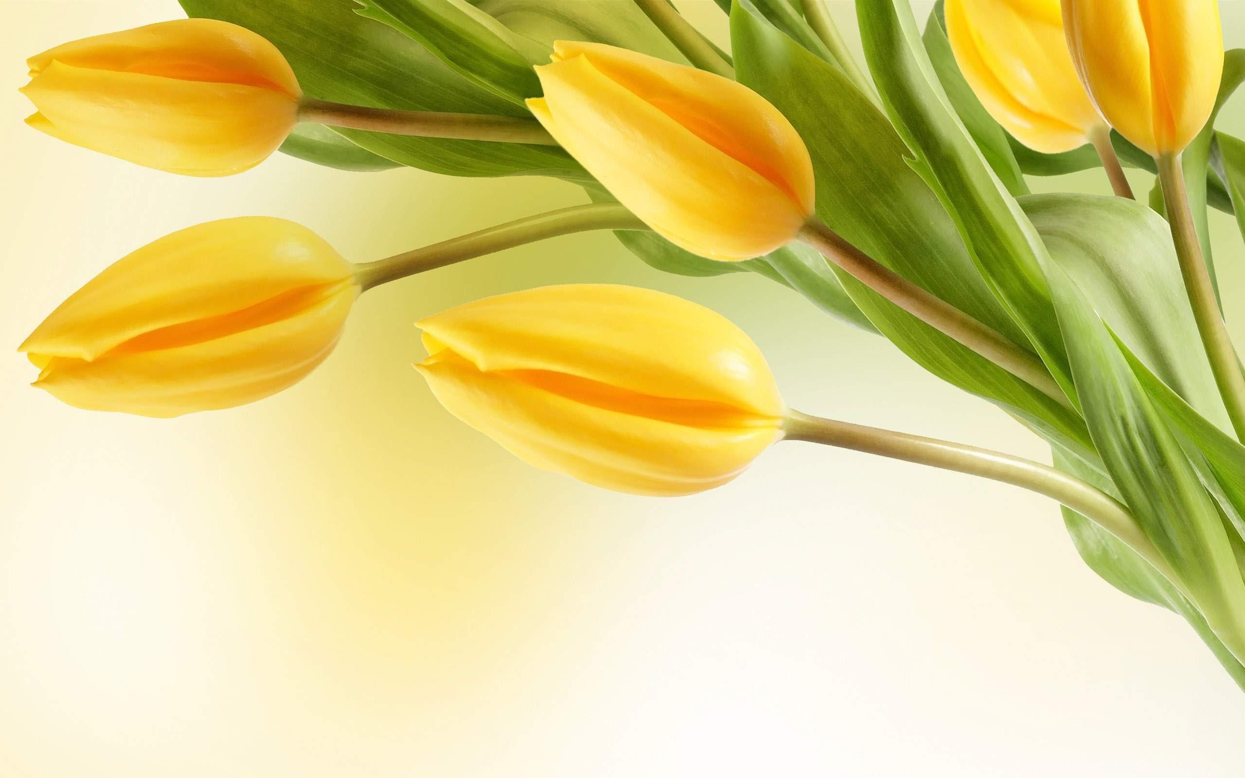 Tulip Flower Wallpaper Hd In Black Background Gambar Bunga