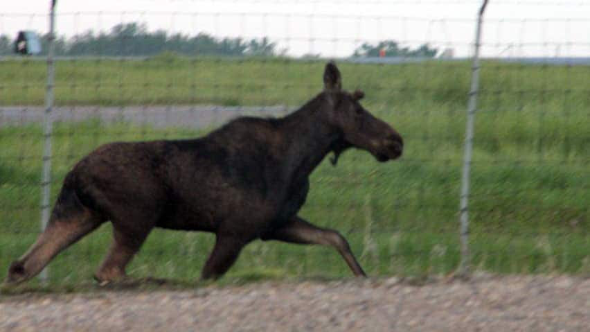 A moose ran around the Regina Airport and the south end of the city earlier this year before being captured and transported out of the city.
