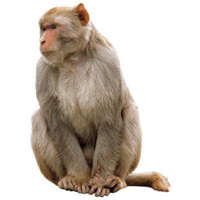 monkey sitting transparent png stickpng