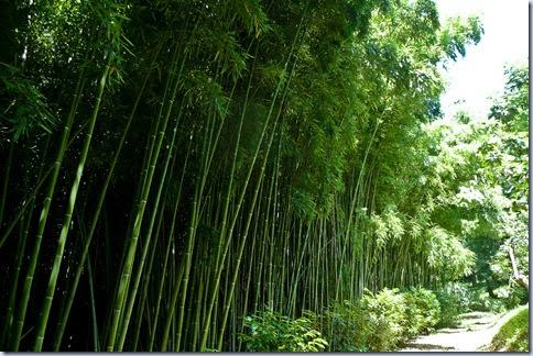 67 bambus