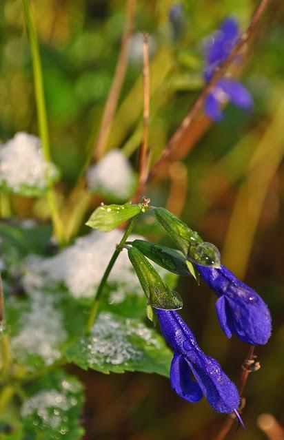 Salvia guaranitica 'Black and Blue