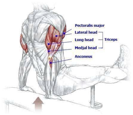 triseps muscle diagrams pinterest benches  dips