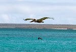Pelican flying in the Galapagos