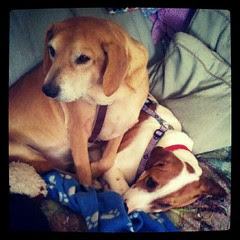 Sophie and #foster #puppy Lambchop #rescue #adoptdontshop #dogs #love #mutt #hounds #saintbernardmix