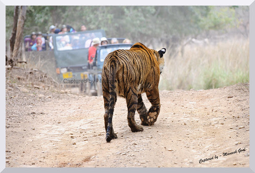 Tigress (T-17 / Sundari) walking on the safari track beside the Rajbagh Lake, Ranthambhore National Park